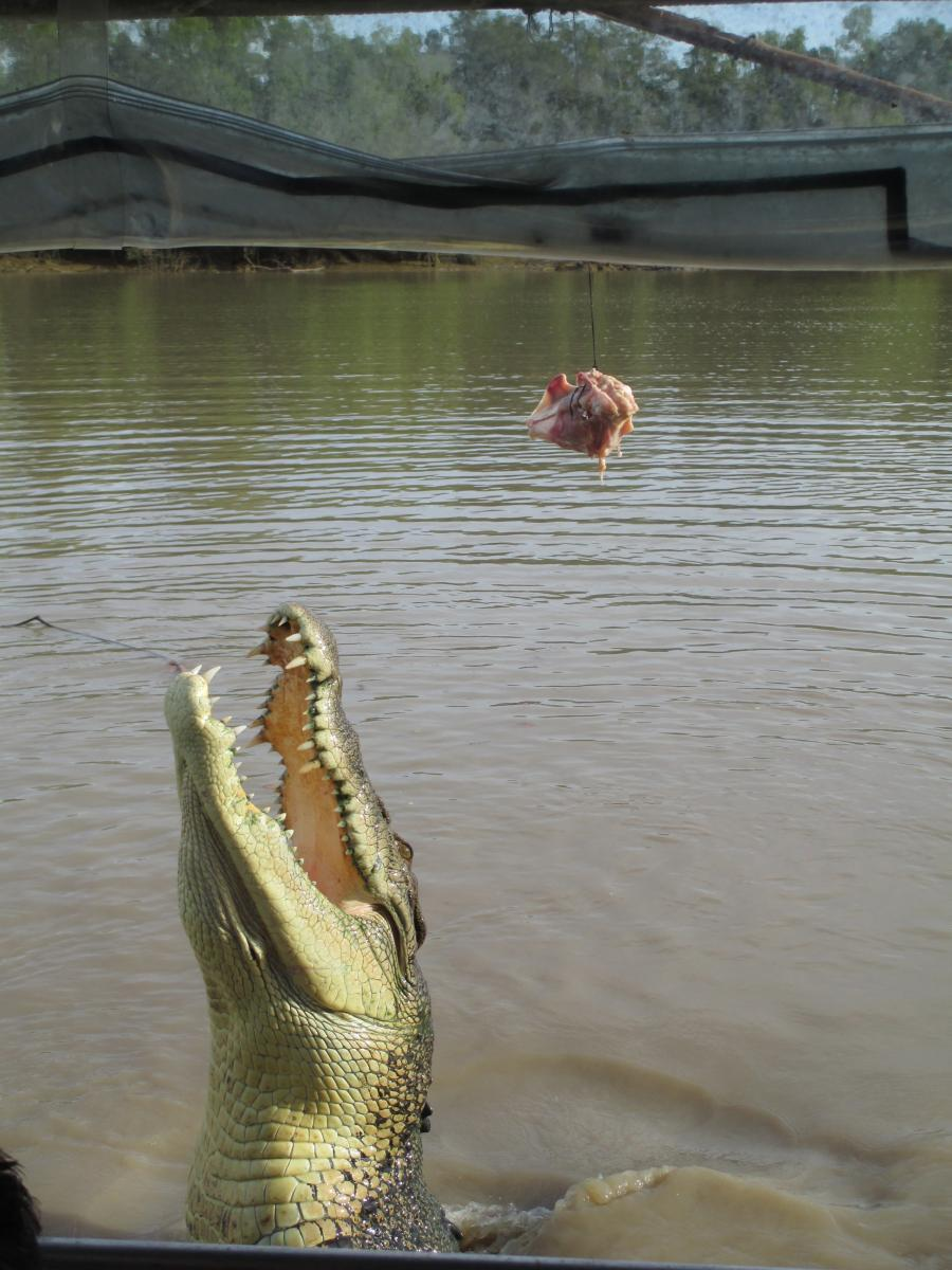 Jumping croc on the Adelaide River, Australia